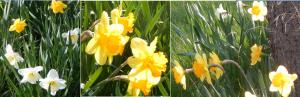 DaffodilsCollage2015April