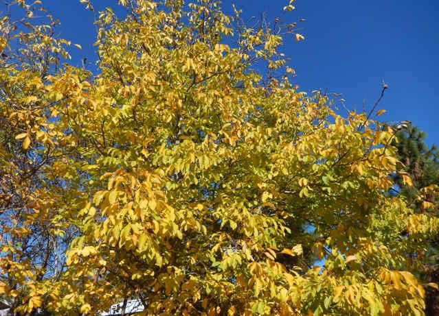 8-carpathianwalnuttrees